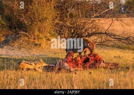 Hyena tachetée, Crocuta crocuta, et Jackal soutenu par des Noirs, Canis mesomelas, à une mort, les plaines de Bushman, le delta d'Okavanago, au Botswana Banque D'Images