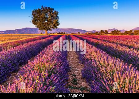 Provence, France. Champs de lavande sur le Plateau de Valensole.
