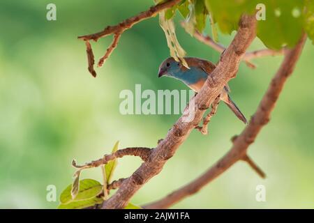 Blue Waxbill Cordonbleu Uraeginthus ou le sud - angolensis également connu sous le nom de blue-breasted waxbill, blue-cheeked cordon-bleu ou de l'Angola, les espèces de l'est