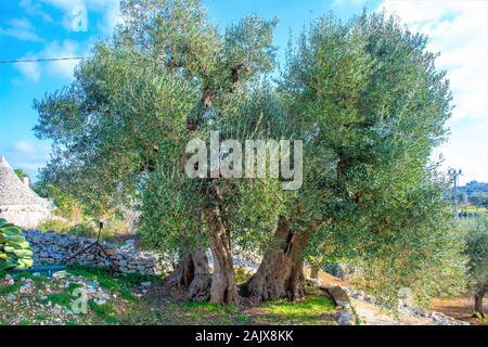 Beaux grands oliviers séculaires à la campagne
