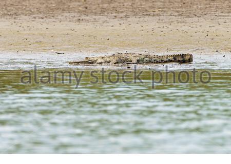 Crocodile (Crocodylus acutus) reposant sur les rives, prises au Costa Rica.
