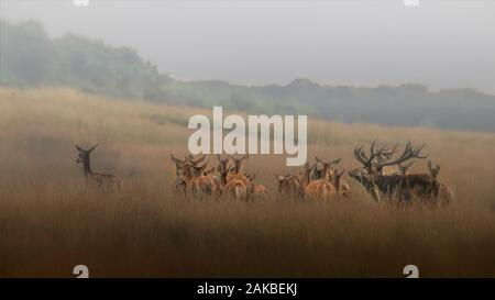 Cerf rouge (Cervus elaphus) cerf avec une femelle de groupe cerf rouge en saison de rutting sur le champ du Parc National Hoge Veluwe aux Pays-Bas. Forêt dans Banque D'Images
