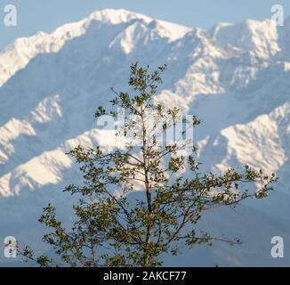 Portrait d'un grand arbre vert avec le pic de l'Himalaya du Chaukhamba en arrière-plan dans le village de Chaukori dans Uttarakhand, Inde. Banque D'Images