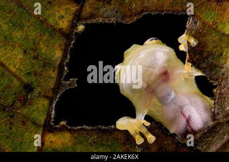 Grenouille de verre réticulé (Hyalinobatrachium valerioi) vue à travers le trou de la leaf voir les organes internes en raison de la transparence de la peau, Canande, Guayaquil, Équateur. Banque D'Images
