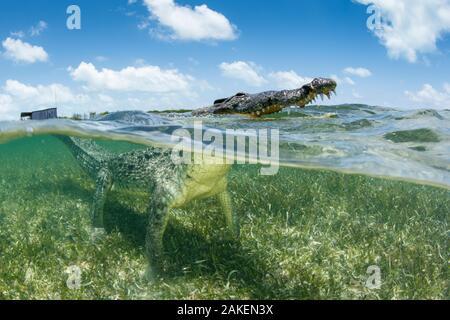Crocodile (Crocodylus acutus) sur lit d'herbes marines. La surface de la tête, en duplex vue. Réserve de biosphère de banques Chinchorro, Quintana Roo, Yucatan, Mexique.