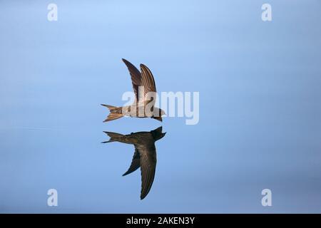 Swift Apus apus (commune) en vol reflète dans l'eau, Norfolk, Angleterre, Royaume-Uni. Juillet.