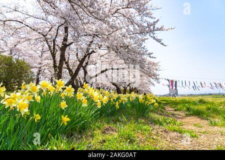 Kitakami Tenshochi Park cerisiers Matsuri festival au printemps, saison, journée ensoleillée. Les visiteurs apprécient la belle fleur fleurs rose Sakura. Banque D'Images