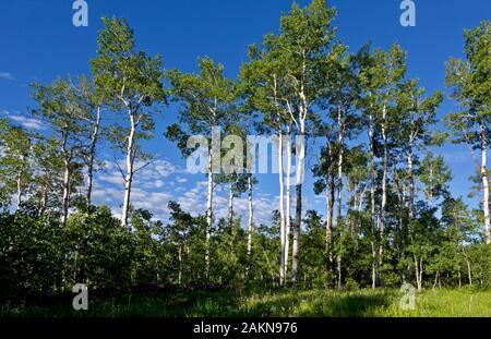 CO00203-00...COLORADO - Un aspen grove entourant un camping dispersés au nord de Clark sur le Great Divide Mountain Bike Route.
