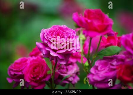 Roses roses roses fleuries sur fond vert flou gros plan, belle rose rouge bouquet macro, croissance des fleurs violettes en fleur sur lit de fleur