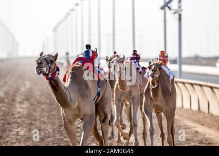 Camel Racing Dubai Al Marmoom course tack Emirats Arabes Unis Dubaï Novembre 2019 Banque D'Images