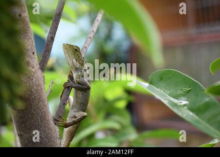 Un lézard de jardin oriental ou un lézard de jardin oriental (Calotes versicolor) affiche une couleur de peau plus verte pendant la saison des pluies. Surakarta, Indonésie. Banque D'Images