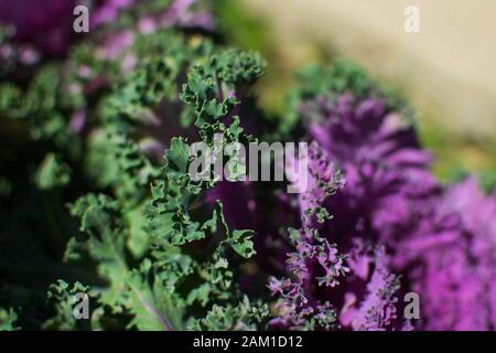 Gros plan sur le chou rose vert et violet. Banque D'Images