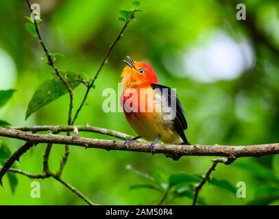 Manakin (Pipra fasciicauda), un homme coloré à queue de bande, chantant dans son habitat indigène de la forêt atlantique. Guaramiranga, Ceara, Brésil Banque D'Images