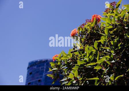 Perth, AUSTRALIE - 24 décembre 2019 : des plantes indigènes australiennes en face de l'hôtel Ritz-Carlton construit et des tours à Elizabeth Quay, Perth's Banque D'Images