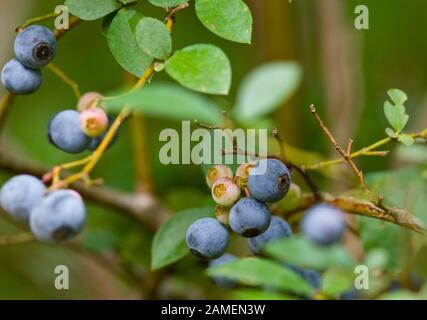 Bleuets mûrs sur la brousse. Vaccinium corymbosum, le bleuet de la brousse du nord. Springfield, Géorgie, États-Unis. Vaccinium Corymbosum Royaume: Plante Banque D'Images