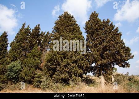 Cupressus sempervirens, la cyprès méditerranéenne (également connue sous le nom de cyprès italien, cyprès toscan, cyprès persan ou pin-crayon), est une espèce de cy Banque D'Images
