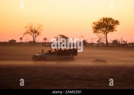 Les touristes en véhicule regardant une chasse au lion au coucher du soleil, Macatoo, Okavango Delta, Botswana