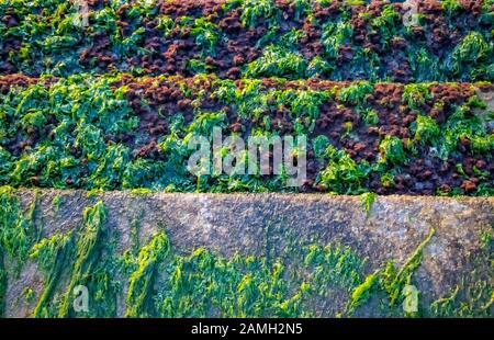 Un bouquet d'algues vertes Banque D'Images