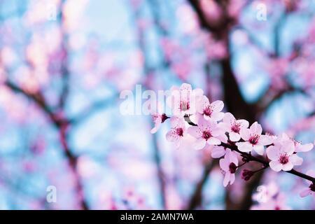 Arbres en fleurs au printemps. Belles fleurs d'amandes roses fraîches. Banque D'Images