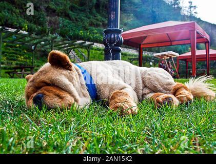 Beau chien chow-chow dans le parc. chow chow chien race dormir sur l'herbe Banque D'Images