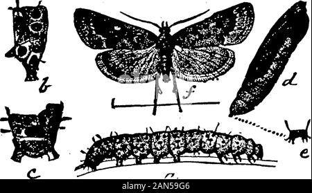 Les insectes affectant le plant de coton . ces ONG, on peut citer le grand-duc royal,caterpillar de l'atheroma regalis, parfois sous le nom de Diable cornu hickory u,un très grand avec Caterpillar vert rouge 5 cornes recourbées long largegreen la larve poilue quelque peu, de l'impérial (Eacles imperialis),et la grande tortue-larve de Ecpantheria scribonia, ainsi que le jaune-vert de la chenille urticantes lo moth (Hyperchiria io), et l'ours laineux les chenilles de Leucarctia acrcea v, Spildsoma andArctia phyllira, virginica. Cette dernière espèce semble avoir une plus grande capa-possibilités pour le d
