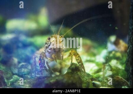 Les écrevisses marbrées, fourbe, l'écrevisse Procambarus virginalis (Procambarus fallax f. virginalis), aquarium, la République tchèque, du 8 octobre 2011. (CTK Photo Banque D'Images
