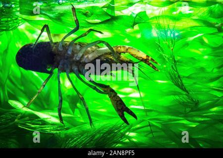 Les écrevisses marbrées, fourbe, l'écrevisse Procambarus virginalis (Procambarus fallax f. virginalis), aquarium, en République tchèque, le 22 mai 2013. (CTK Photo/Li Banque D'Images