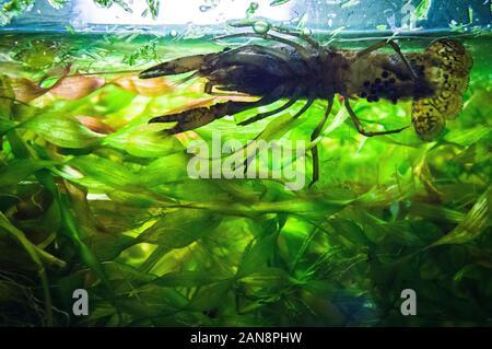 Les écrevisses marbrées, fourbe, l'écrevisse Procambarus virginalis (Procambarus fallax f. virginalis), aquarium, la République tchèque, le 6 juin 2013. (CTK Photo/Li Banque D'Images