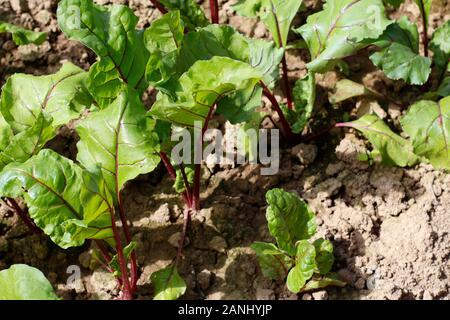 Betteraves rouges poussent dans le sol. Betteraves en croissance avec de belles feuilles vertes sur un potager. L'agro-industrie. Les jeunes betteraves a commencé à se développer dans le sol. Banque D'Images