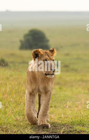 Un lion masculin sous-adulte se détendant et marchant dans les plaines de l'Afrique à l'intérieur de la Réserve nationale de Masai Mara pendant un safari sauvage