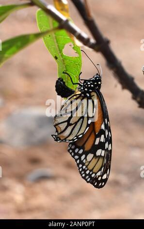 Le monarque papillon Danaus plexippus récemment haché de la pupe Banque D'Images