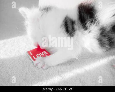 Un mignon petit chaton sur un tapis blanc sur les piqûres sun essaie de grignoter la plaque de chocolat sucré- cadeau pour la Saint-Valentin Banque D'Images
