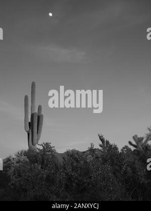 Lune se lever sur Saguaro cactus dans les Superstition Mountains de l'Arizona. Banque D'Images