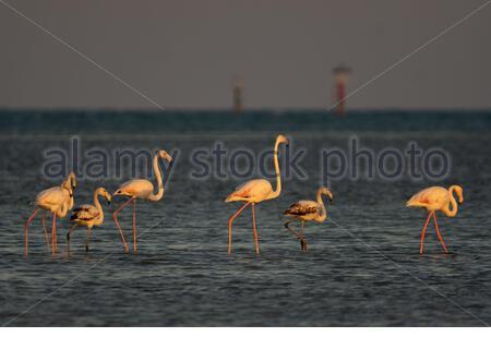 Flamands roses à Al Farkiah côte (plage) Al Farkiah 2019-2020 pendant la saison des oiseaux migrateurs d'hiver au Qatar Banque D'Images