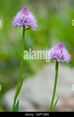 Globe Orchid (Traunsteinera globosa), fleurs. Allemagne Banque D'Images