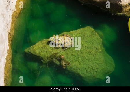 Gros plan de Rana clamitans - Grenouille verte reposant sur un roche couverte de chlorophyta - algues vertes dans un étang à la fin du printemps