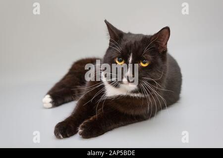 Chat noir et blanc allongé sur un fond gris