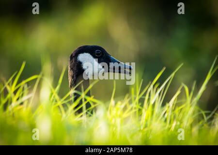 Bernache du Canada (Branta canadensis) gros plan de la tête