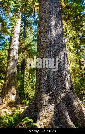 Une épinette de Sitka tronc de l'arbre s'élève du sol forestier, Hoh Rainforest, Olympic National Park, Washington State, USA. Banque D'Images