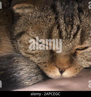 Chat britannique marron dormant sur le lit.