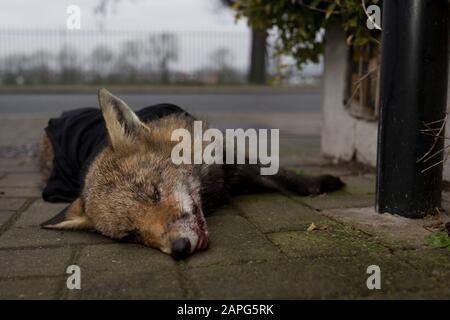 Un jeune renard urbain nord-européen (Vulpes vulpes) est mort sur le pavé, partiellement couvert par un vêtement et déplacé de la route par un passant, après avoir été tué par un véhicule dans une rue résidentielle du sud de Londres, le 23 janvier 2020, à Londres, en Angleterre. 'Vulpes vulpes' a une longue histoire d'association avec les humains, qui ont été largement chassés comme un ravageur et un porteur de fourrure pendant de nombreux siècles, ainsi que d'être représentés dans le folklore humain et la mythologie. Banque D'Images