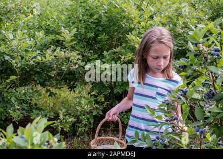 Fille choisit des bleuets juteux dans cette ferme rurale de bleuets du Michigan, prenant le temps de trouver le plus grand et le plus doux pour remplir son panier Banque D'Images