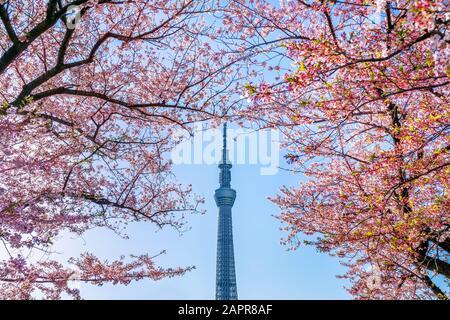 Tokyo, JAPON - 9 avril 2019 : Magnifiques cerisiers en fleurs et le ciel de Tokyo au printemps à Tokyo, Japon. Banque D'Images