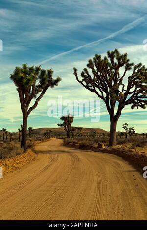 Joshua Tree National Park Californie États-Unis. Joshua Tree, Yucca Palm ou Tree yucca (Yucca brevifolia).