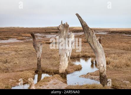 Vieilles souches d'arbres sur les marais salants de Thornham, la côte Norfolk, East Anglia Banque D'Images