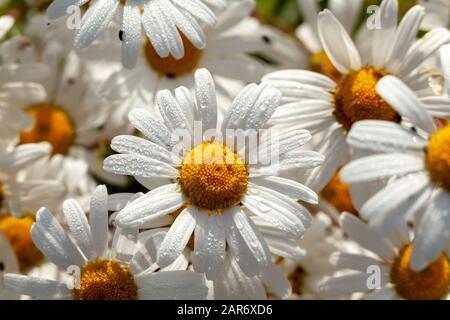 Grand groupe de fleurs de daisies (oxeye) avec gouttes d'eau de rosée le matin. Contexte de la nature au printemps Banque D'Images