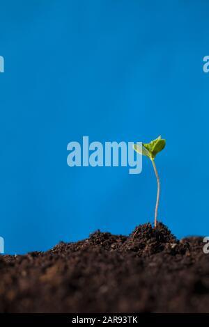 Semis d'arbres émergeant à travers le sol. Banque D'Images