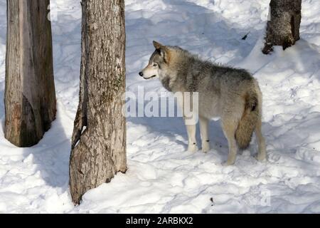 Loups De Bois De Lupus Canus Banque D'Images