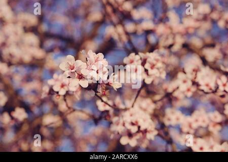 Arbres de prune avec fleurs roses pastel fraîches en fleurs, gros plan. Banque D'Images