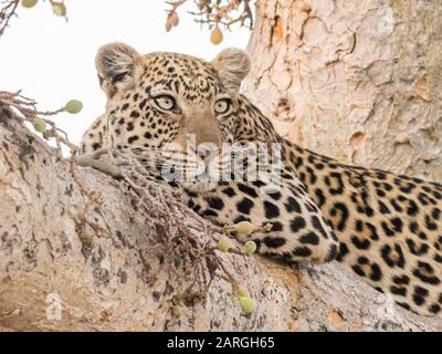Un léopard adulte (Panthera pardus) reposant dans un arbre du Delta d'Okavango, Botswana, Afrique